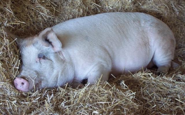 Atenție la Pesta Porcina Africana. Comunicat.