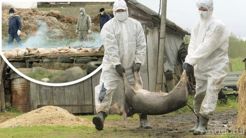 Pesta porcină africană, un coșmar devenit realitate