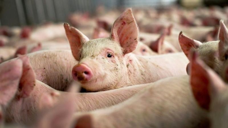 DSVSA Alba avertizează în legătură cu comercianții de porci infestați cu pestă africană