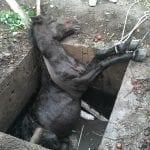 Răchita - Intervenție pentru salvarea unui cal căzut într-o fosă septică