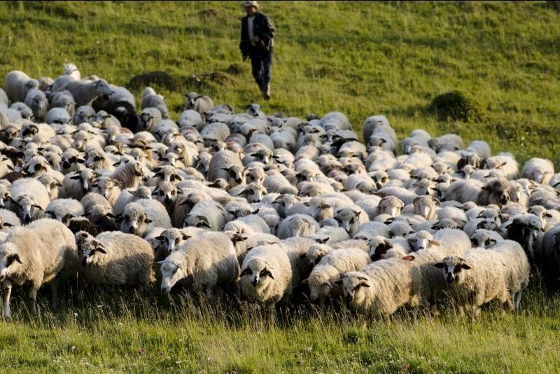 Alertă pentru crescătorii de oi din județul Alba!!! Cinci focare de scrapie confirmate în județul Sibiu