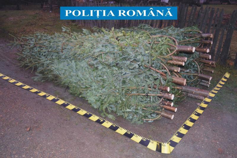 Alba – 68 de brazi de Crăciun confiscați de poliție în 24 de ore în tot județul