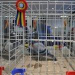 Sebeș - Expoziție columbofilă și de animale de companie