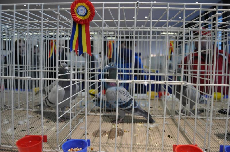 Sebeș – Expoziție columbofilă și de animale de companie