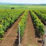 Ioan Dîrzu: ''Producătorii de struguri pentru vin pot accesa fonduri anuale FEGA de 47,7 milioane euro!''