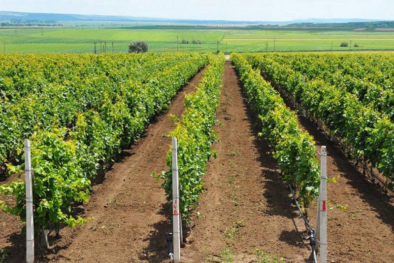 """Ioan Dîrzu: """"Producătorii de struguri pentru vin pot accesa fonduri anuale FEGA de 47,7 milioane euro!"""""""