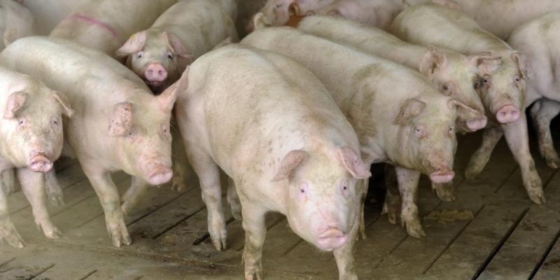 Actualizarea situației privind evoluția răspândirii Pestei Porcine Africane la nivel național și măsurile necesare pentru prevenirea răspândirii acestei boli