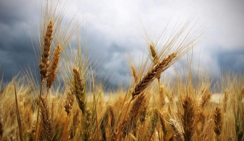 PSD anunță  România este din nou lider la exporturile de grâu!