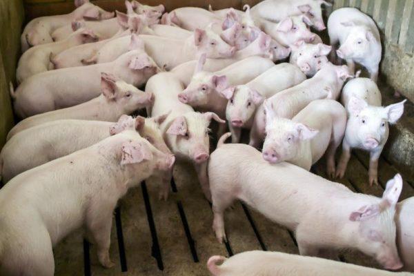 Focare de Pestă Porcină Africană în județe vecine cu Alba. Recomandări pentru populație