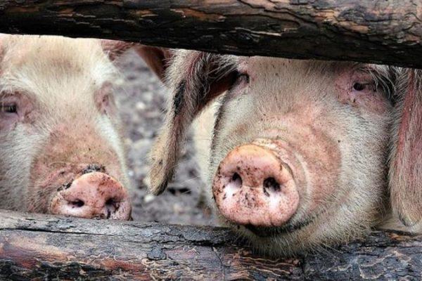 Pesta Porcină Africană a fost confirmată la doi porci dintr-o gospodărie din județul Alba