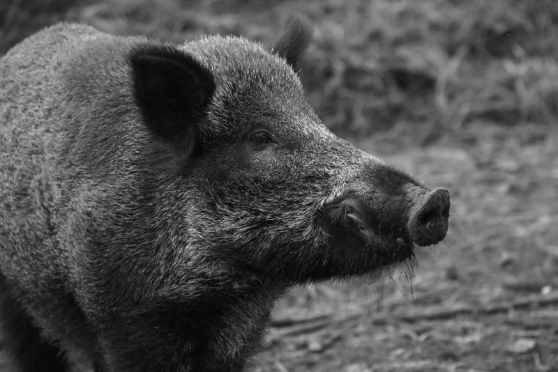DSVSA Alba a confirmat primul caz de îmbolnăvire cu pestă porcină africană la un porc mistreț din județul Alba