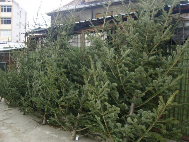 De sezon – 22 de brazi de Crăciun confiscați pe raza comunei Arieșeni