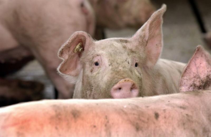 Transport ilegal de porci, identificat pe raza județului Alba
