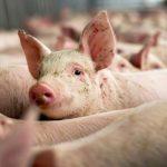 DSVSA Alba - Măsuri pentru combaterea Pestei Porcine Africane la mistreț și sfaturi pentru crescătorii de porci