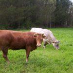 Șpring - Dosar penal emis pe numele unui tânăr din comună și a patru complici care au furat două vaci