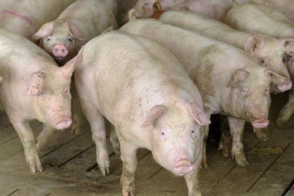 Set de măsuri obligatorii pentru prevenirea răspândirii pestei porcine în Alba Iulia