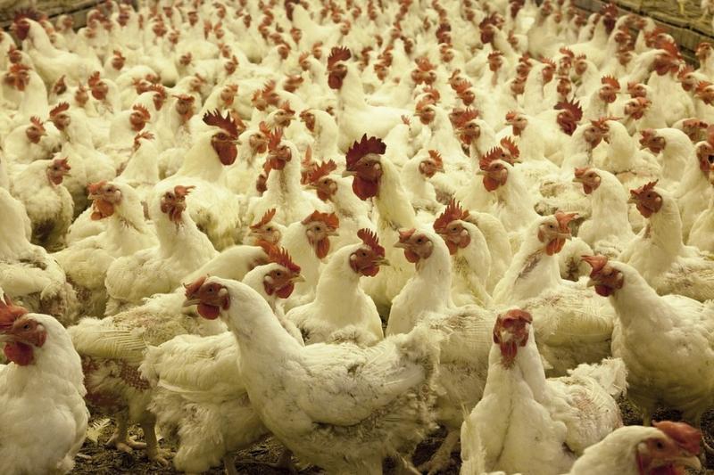 Recomandări pentru populație în contextul apariției gripei aviare în România