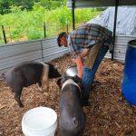ANSVSA NU interzice creșterea porcilor în gospodărie!